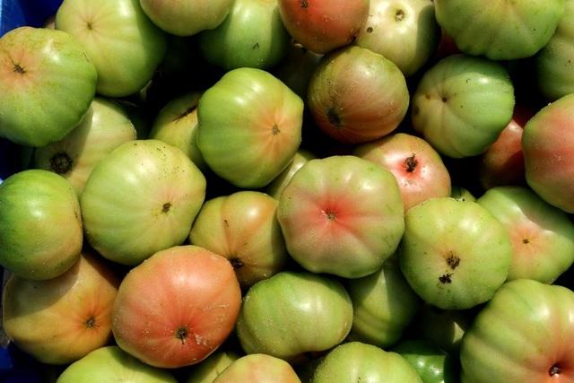 Cà chua đã phủ xanh miền đất cát trắng, mang lại thu nhập khá cho người dân