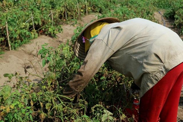 Nhờ cà chua mà nhiều hộ khấm khá lên, có thể nuôi con ăn học đến chốn