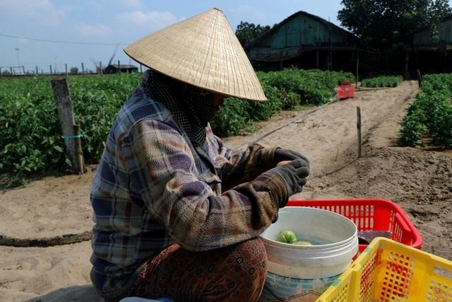 Dưới cái nắng chang chang của dải đất miền Trung, những ruộng cà chua xanh mướt đã làm dịu đi bớt cái nắng gay gắt trên miền cát trắng và là nguồn sinh kế của đa số người dân
