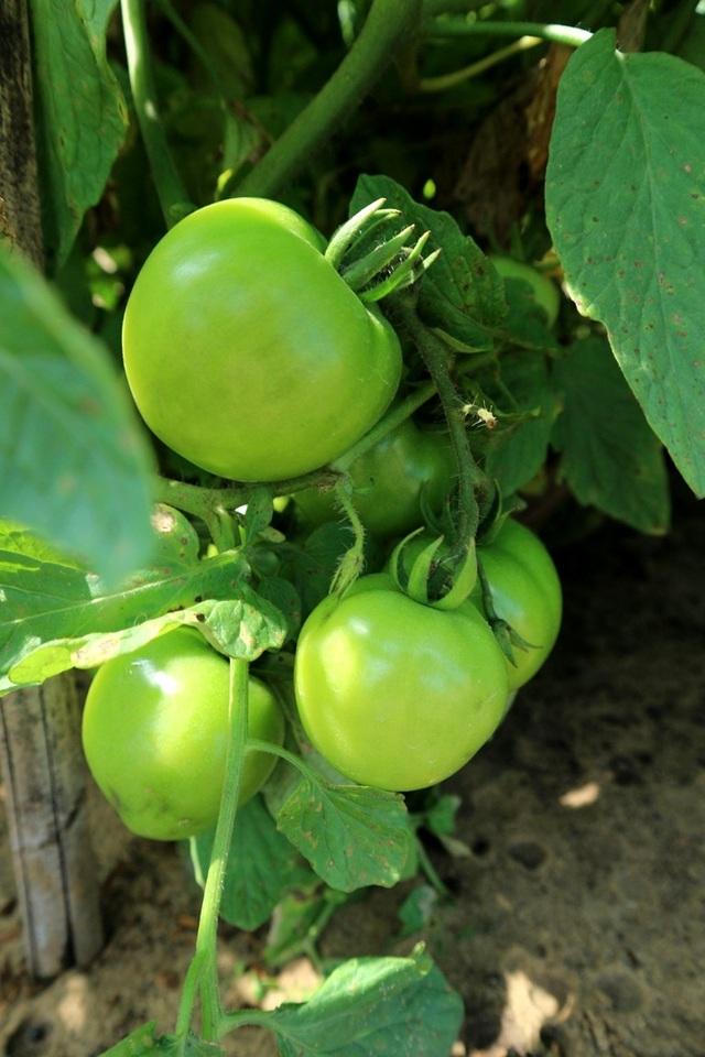 Cà chua dĩa và cà chua bom được trồng phổ biến tại đây