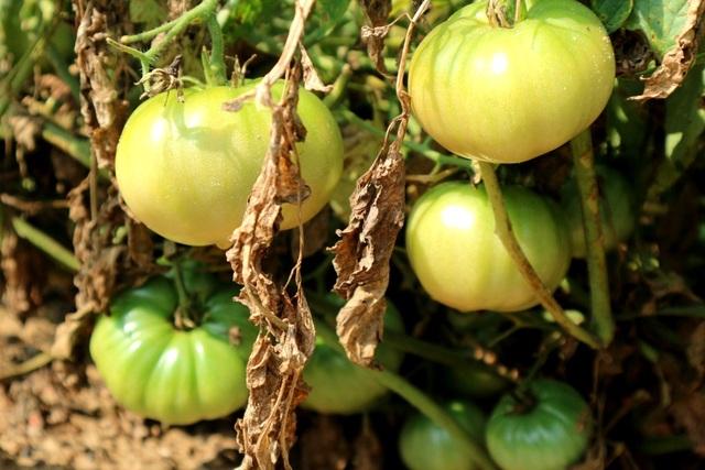 Bên cạnh cây cúc vàng được phổ biến gần đây, thì cà chua đã là cây mang lại thu nhập khấm khá cho người dân