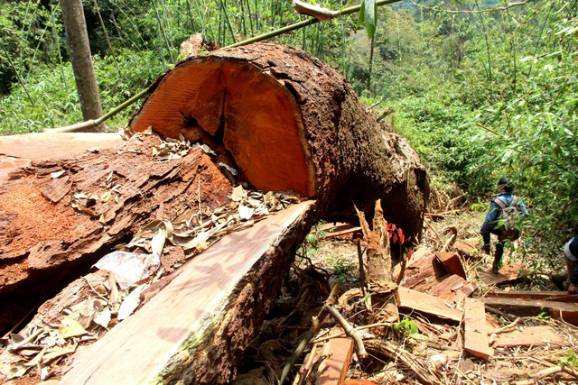 Rừng lim xanh ở huyện Nam Giang đã bị hạ sát và được phát hiện cuối tháng 3 vừa qua