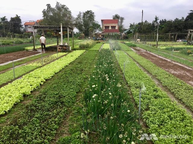 Một ruộng rau hữu cơ ở làng Trà Quế (Ảnh: Mediacorp)