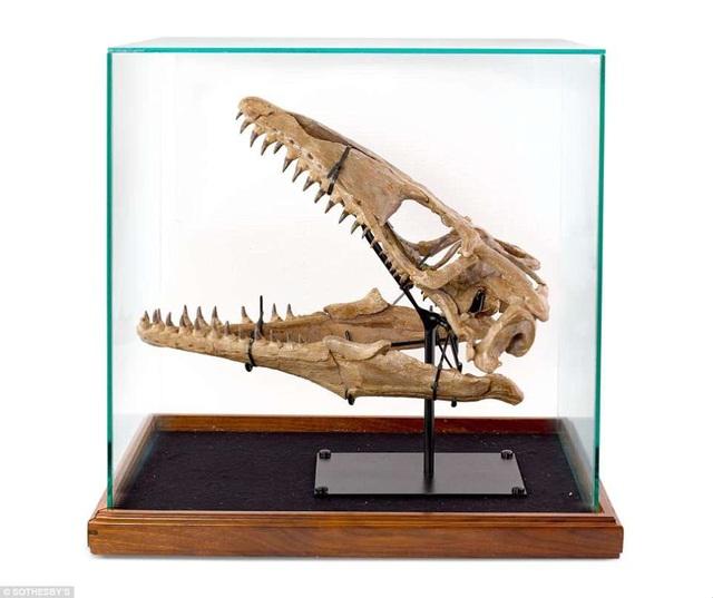 Một hộp sọ khủng long sống ở cuối Kỷ Creta được bán với giá 65.000 USD.