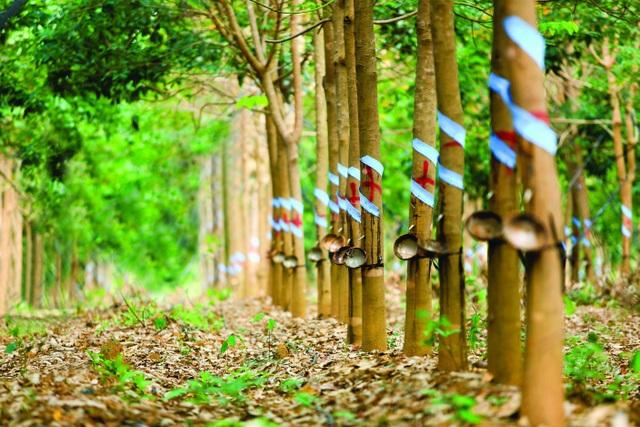 Theo Thanh tra Chính phủ, thực tế Công ty cổ phần Cao su Phú Riềng - Kratie trồng cây cao su tại Campuchia bị chết phần lớn là do yếu tố khách quan.