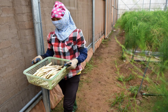 Sau khi việc thu hái kết thúc vào khoảng 7h sáng, nông dân chuyển thành phẩm sang công đoạn sơ chế tiếp theo.