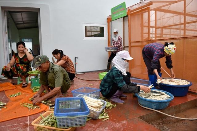 Măng thu hoạch được rửa sạch, cắt gọt và phân loại.