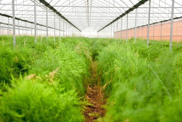 Trên địa bàn xã Hồng Thái (Phú Xuyên, Hà Nội) có khoảng 3 ha trồng măng tây, với hai loại măng tây xanh và trắng. Giống được nhập khẩu trực tiếp từ Hà Lan, trong đó có khoảng 1,2 ha măng tây được trồng trong nhà lưới của hợp tác xã Hồng Thái đang vào vụ thu hoạch.