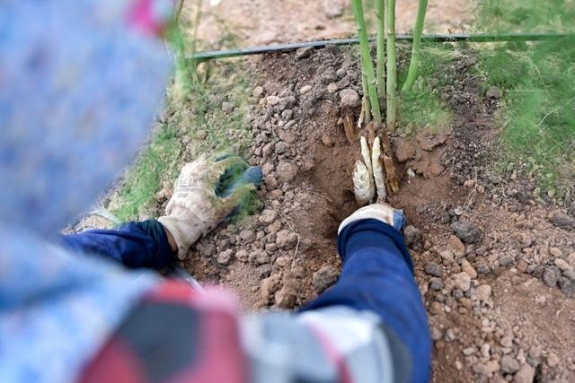 Măng trắng thu hoạch có mầm nhú khỏi mặt đất từ 2 - 3 cm, dùng tay không hoặc kéo đào xung quanh gốc cây tới gần gốc măng thì bẻ, độ dài từ 20 đến 25 cm.