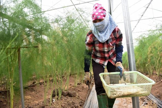 Trồng măng ở ngoài tự nhiên sẽ thu hoạch khoảng 200 ngày mỗi năm, nhưng trồng trong nhà lưới sẽ được thu hoạch nhiều ngày hơn.