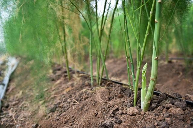 Măng tây có vòng đời cây mẹ khoảng 70 ngày, mỗi bầu có 4 cây cho sản lượng khai thác trong vòng 10 năm. Sau khi thu hoạch, bầu măng được ngủ đông trong thời gian nhất định sau đó mới cho thu hoạch trở lại.