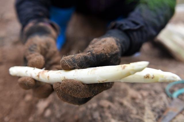 Măng trắng có thân dài mập mạp, giá trị dinh dưỡng và kinh tế cao.