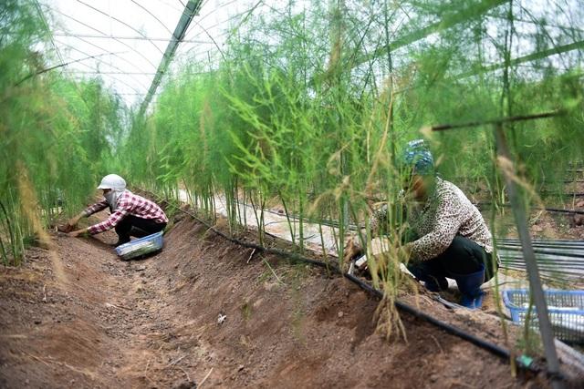 Măng tây là loại cây thích hợp trồng trên đất phù sa trộn cát và phân hữu cơ. Cây măng tây được ươm từ hạt, trồng theo luống. Sau khoảng 4 năm trồng măng ngoài trời cho năng suất thấp, măng tây được áp dụng công nghệ trồng trong nhà lưới để đảm bảo về độ ẩm và sâu bệnh.