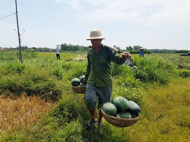 Người dân huyện Phú Ninh thu hoạch dưa hấu