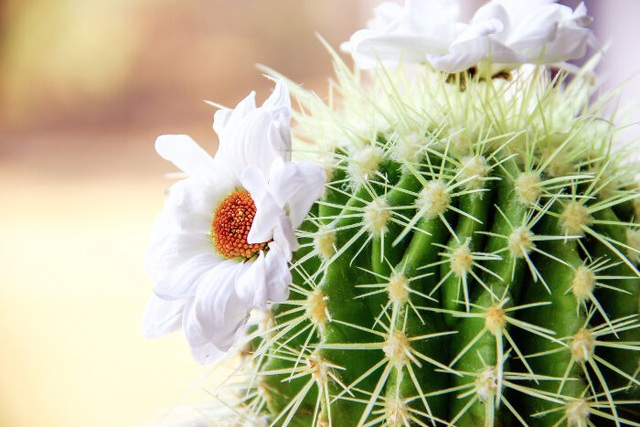 Vẻ đẹp kiêu sa hấp dẫn không kém bất cứ loài hoa nào