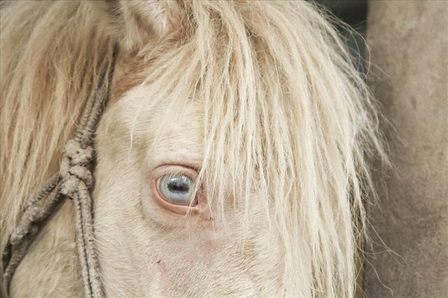 Con ngựa bạch tốt có mắt tây, màu xanh trắng.
