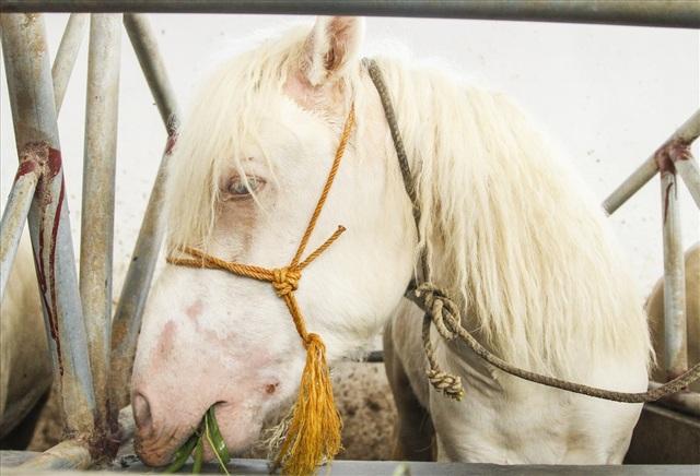 Mõm ngựa bạch có màu hồng, thân hình cân đối, lông mượt và có màu trắng...