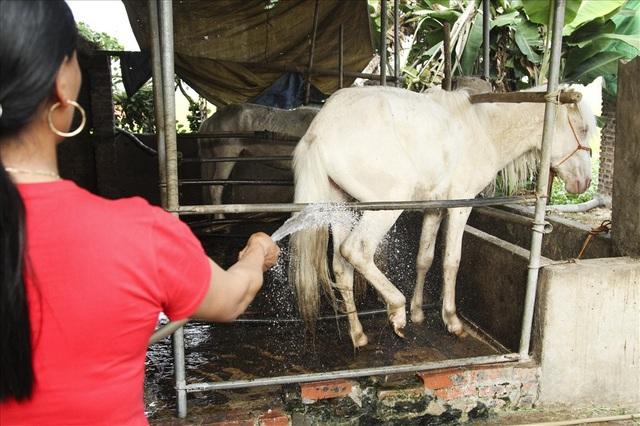 Chuồng ngựa lúc nào cũng phải vệ sinh sạch sẽ để tránh các dịch bệnh.