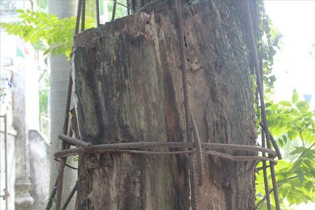 Một nửa cây sưa quý được cho là đã chết khô