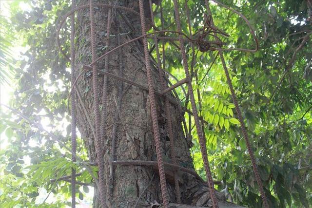 Người dân bảo vệ cây gỗ quý bằng hàng rào sắt kiên cố
