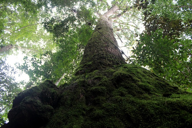 Cây di sản pơmu ngàn năm tuổi được bảo vệ nghiêm ngặt