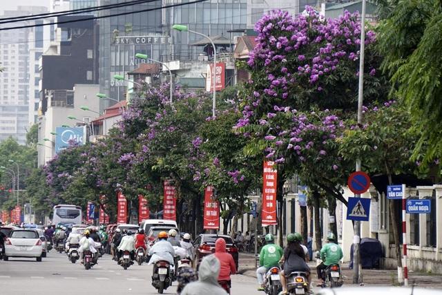 Các phố Văn Cao, Kim Mã, Đào Tấn của Hà Nội là những nơi trồng nhiều cây bằng lăng. Đang mùa hoa nở, cả đoạn phố rực rỡ màu hoa tím ngắt.