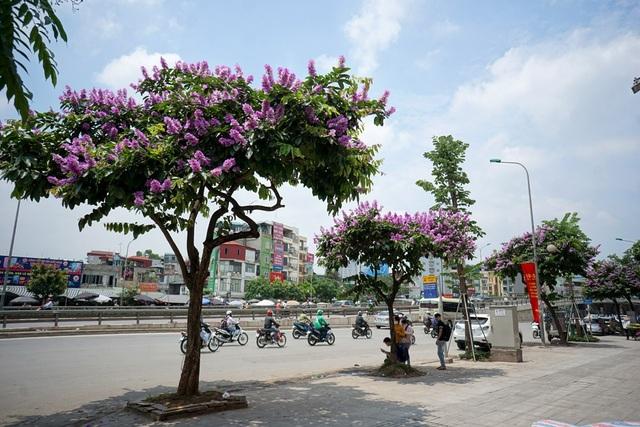 Những cây bằng lăng trên đường Nguyễn Trãi giữa trưa hè.