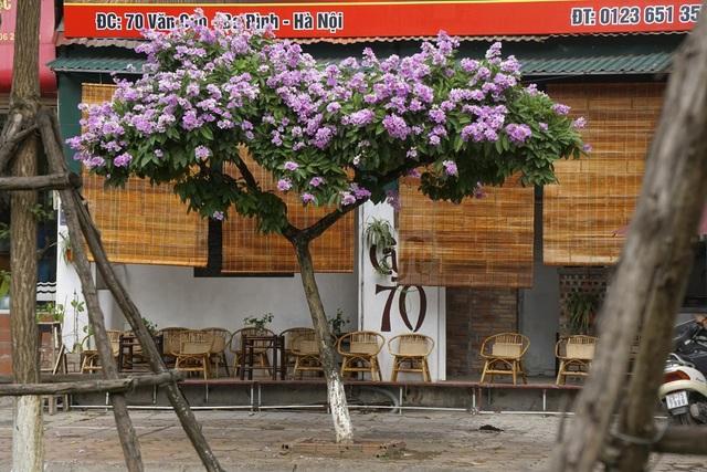 Cây bằng lăng có hai thời kỳ đẹp nhất là giai đoạn sau Tết Nguyên đán khi cây ra lộc và thời điểm đầu hè khi cây nở hoa.