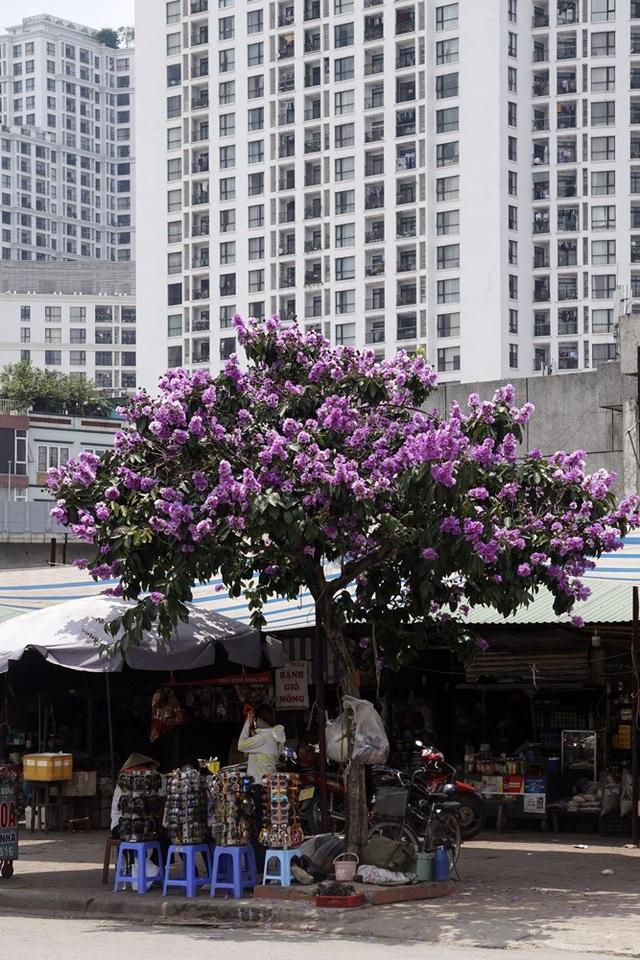 Một cây bằng lăng rực rỡ hoa tím, đứng đơn độc giữa một đoan phố.