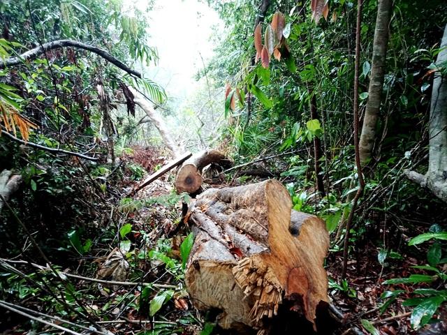 Nhiều cánh rừng phòng hộ trên địa bàn Quảng Nam bị hạ sát trong thời gian qua