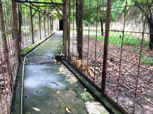 Trang trại nuôi hổ tại xã Xuân Tín, huyện Thọ Xuân hiện có 11 cá thể hổ