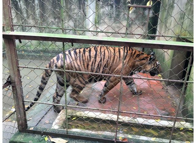 Sở NN&PTNT đang xin ý kiến 2 Bộ về việc giải quyết vấn đề tại trang trại nuôi hổ nêu trên