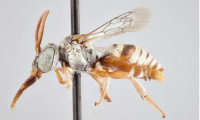 Các nhà nghiên cứu xác định 15 loài ong cúc cu mới - 1