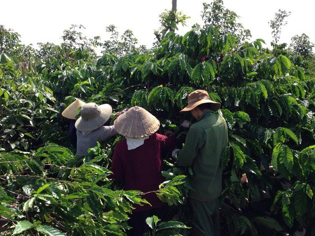 Công nhân đang thu hoạch cà phê niên vụ 2017