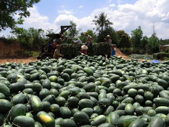 Giá dưa hạ thấp, khiến người nông dân thua lỗ hàng chục triệu đồng