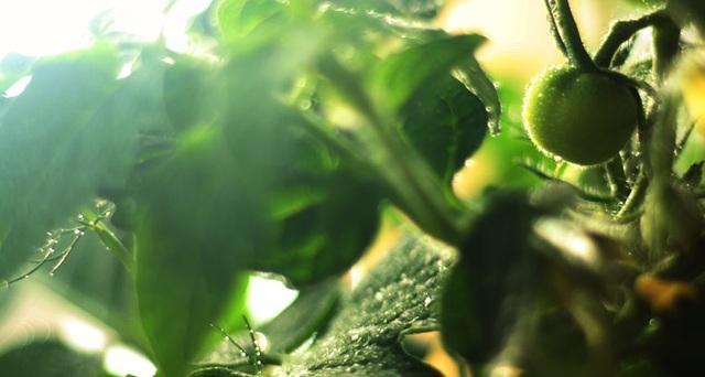 Các hạt nano có thể giúp cứu các cây kém dinh dưỡng - 1