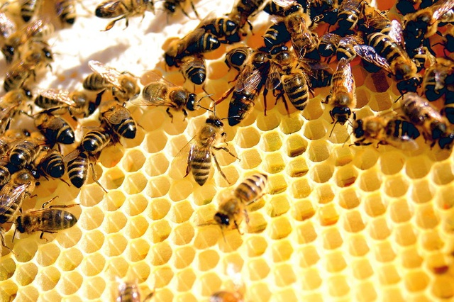 Ong có vai trò quan trọng trong việc sản xuất lương thực và hệ sinh thái.