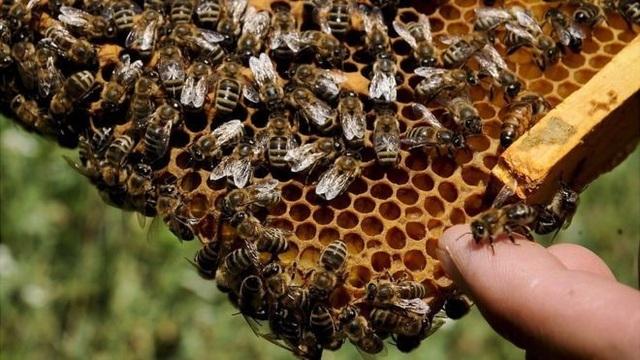 Khủng hoảng ong: Toà án EU ủng hộ lệnh cấm thuốc trừ sâu - 1