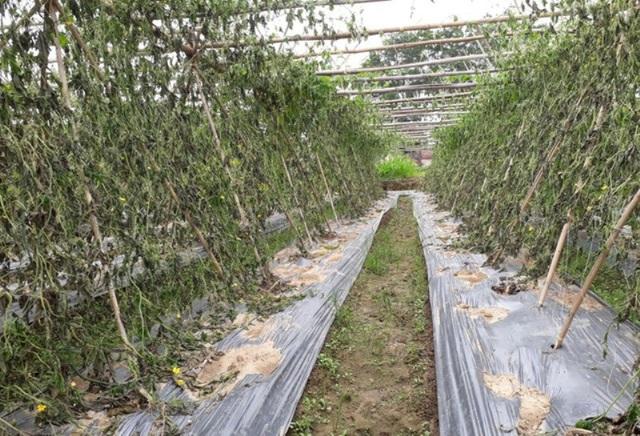 Vườn rau của gia đình tại xã Định Tân (huyện Yên Định) bị kẻ xấu nhổ gốc.