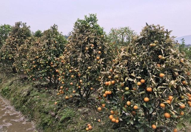 Hình ảnh vườn quất của gia đình tại xã Hợp Tiến (huyện Triệu Sơn) bị phá hoại đầu năm 2018