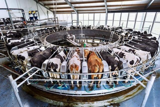 Máy vắt sữa dạng xoay ở Hà Lan
