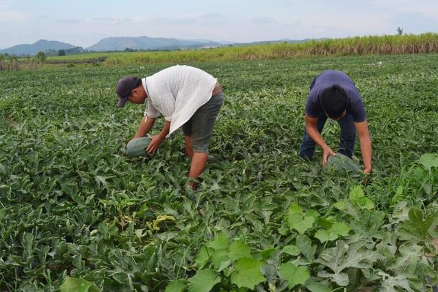 Nông dân trồng dưa ở Phú Yên đa phần là người ngoài tỉnh đến thuê đất nên rất ngại va chạm với nhóm đối tượng này