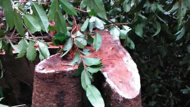 Những cây vừa mới bị đốn hạ còn đang ứa mủ