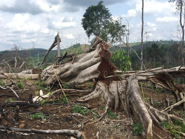 Hiện trường vụ phá 28ha rừng.