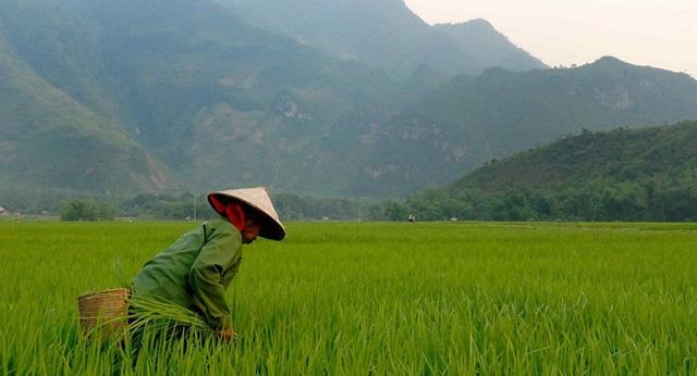 """Các nhà khoa học dự đoán về một """"cuộc khủng hoảng gạo"""" ở châu Á - 1"""