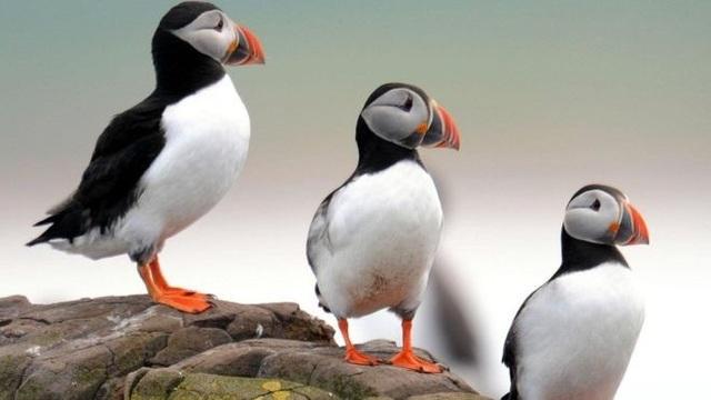 Số lượng chim hải âu rụt cổ Đảo Farne giảm đáng lo ngại - 1
