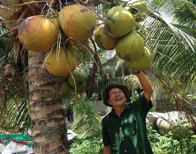 100 gốc dừa xiêm mang về thu nhập 100 triệu đồng/năm cho ông Thắng. (Ảnh: NQ).
