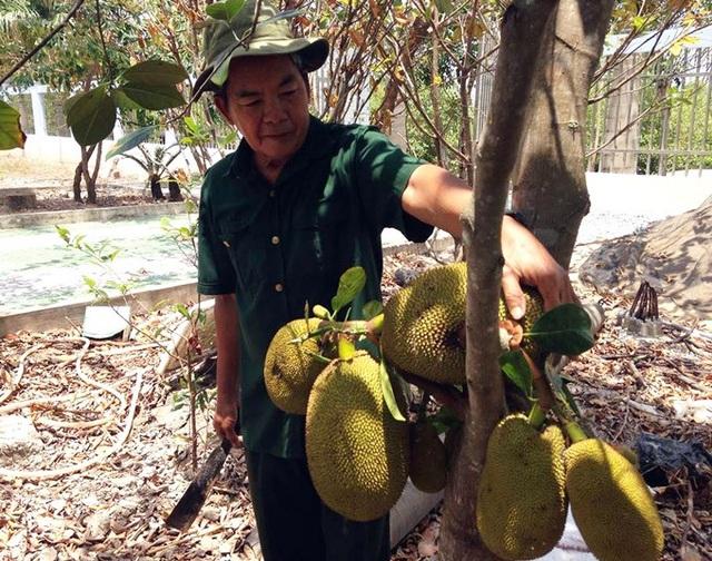 Nhờ cách làm sáng tạo, cây ăn trái trong vườn ông Thắng luôn xanh tốt, cho nhiều quả. (Ảnh: NQ).