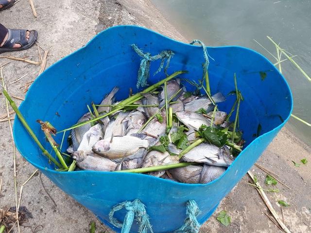 Cá gần đến thời gian thu hoạch bỗng lăn ra chết bất thường