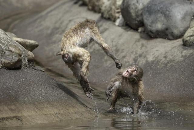 Khỉ đánh nhau như võ sĩ khiến nhiếp ảnh gia kinh ngạc - 5